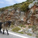 goat walking in Greece